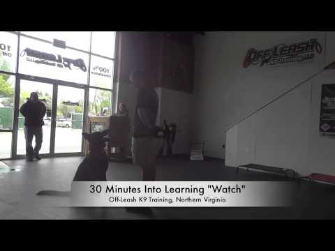 "German Shepherd Learning ""Watch"" Command: Northern Virginia Dog Training"
