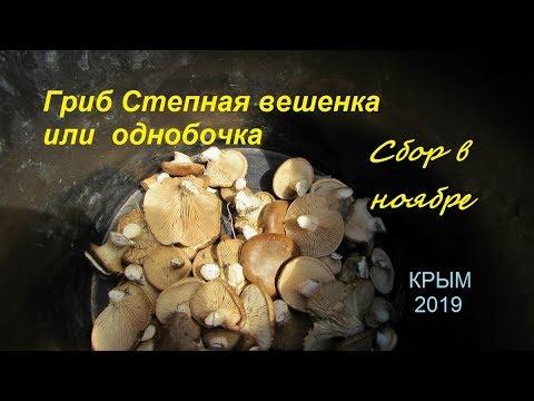 Крым, Белогорск, Гриб однобочка или вешенка степная. Собирают в ноябре