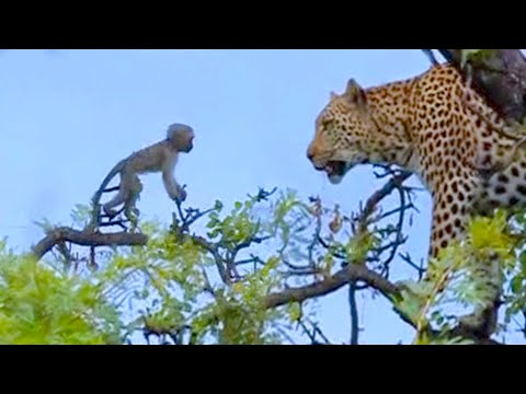 Leopard Kills Baby Vervet Monkey - Latest Sightings