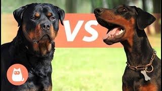 Rottweiler VS Dóberman  ¿Cuál elegir?