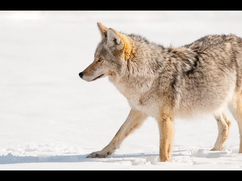 Early and Late Season Coyote Calling Strategy