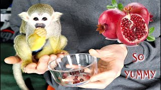 Baby Monkey oLLie LOVES yummy Pomegranate #MonkeyBooCrew #CutePet