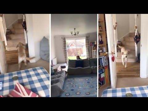Puppy Can't Find Owner Playing Hide & Seek