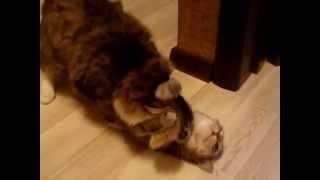 Кастрированный  кот, кот после кастрации