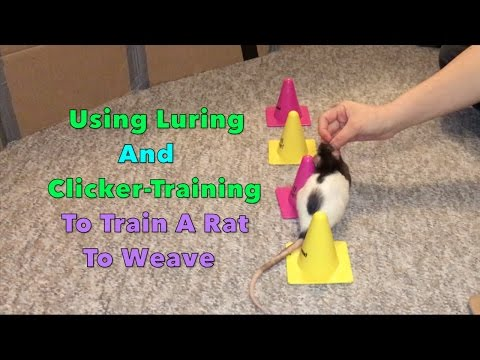 Using Luring And Clicker-Training To Train A Rat To Weave
