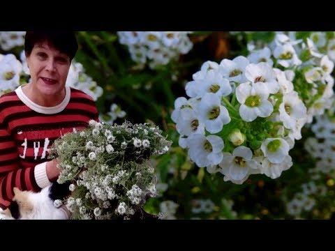 Цветы цветущие все лето и осень  Почвопокровные растения   АЛИССУМ