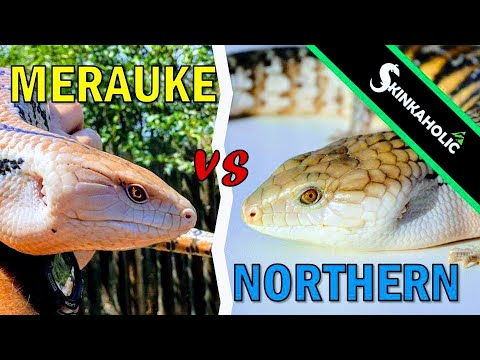 Merauke Vs. Northern Blue Tongue Skinks - Ep. 77