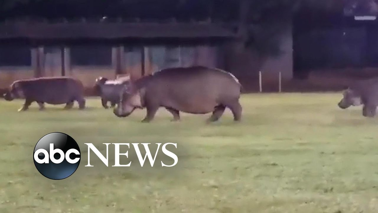 ABC News:Hippos invade rugby playing field
