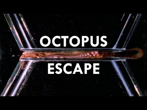 Thumbnail: Octopuses are the World's Greatest Escape Artists (Ft. PhilosophyTube)
