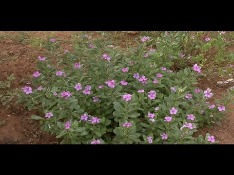 "Grow ""Nithyakalyani"" plant @ home 