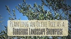 Growing OLIVES in Florida: PERFECT TREES FOR HOA NEIGHBORHOODS!