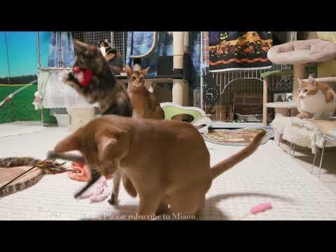 2017.10.21 猫部屋ライブ映像   Cats & Kittens room 【Miaou みゃう】