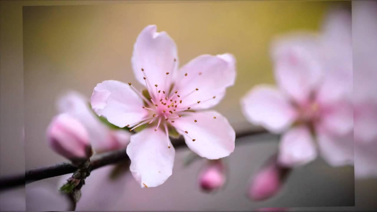 Flor De Durazno 🌺🌺🌺