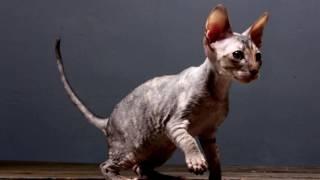 Порода кошек. Корниш рекс. Уникальная кошка. В странах на востоке появилась не так давно