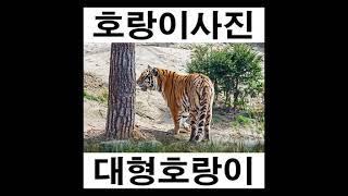 호랑이그림 호랑이사진