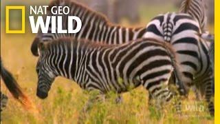 Zebra Takedown!   Nat Geo Wild