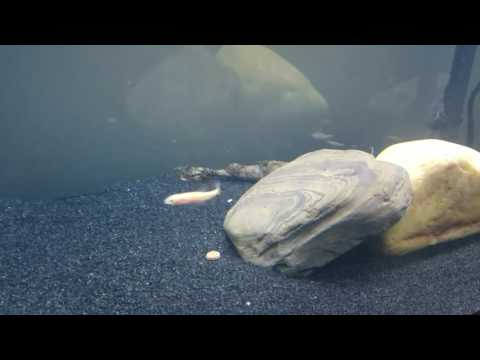 Monster Fish: The Mammoth Goonch Catfish 720 HD - National Geographic Wild from YouTube · High Definition · Duration:  1 hour 1 minutes 30 seconds  · 33,000+ views · uploaded on 9/2/2016 · uploaded by Gaynell Mindi
