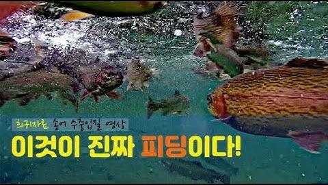 [송어 루어 낚시 교실] 송어 낚시 피딩 타임 / 방류 타임