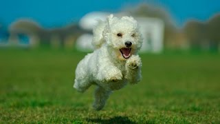 Bertie - Bichon Frise - 8 Week Residential Dog Training At Adolescent Dogs