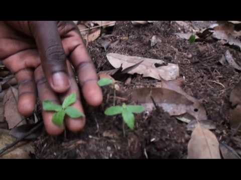 Plants growing from dung, Lopé NP, Gabon