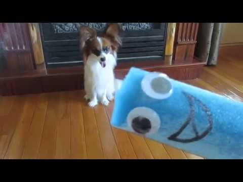 Percy the Papillon Dog: Funny Mr. Noodle