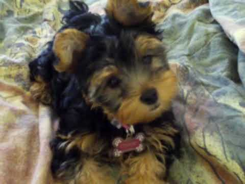 My Yorkie Puppy Cookie Barking Youtube