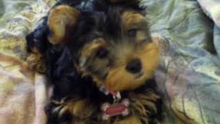 My yorkie puppy Cookie barking thumbnail