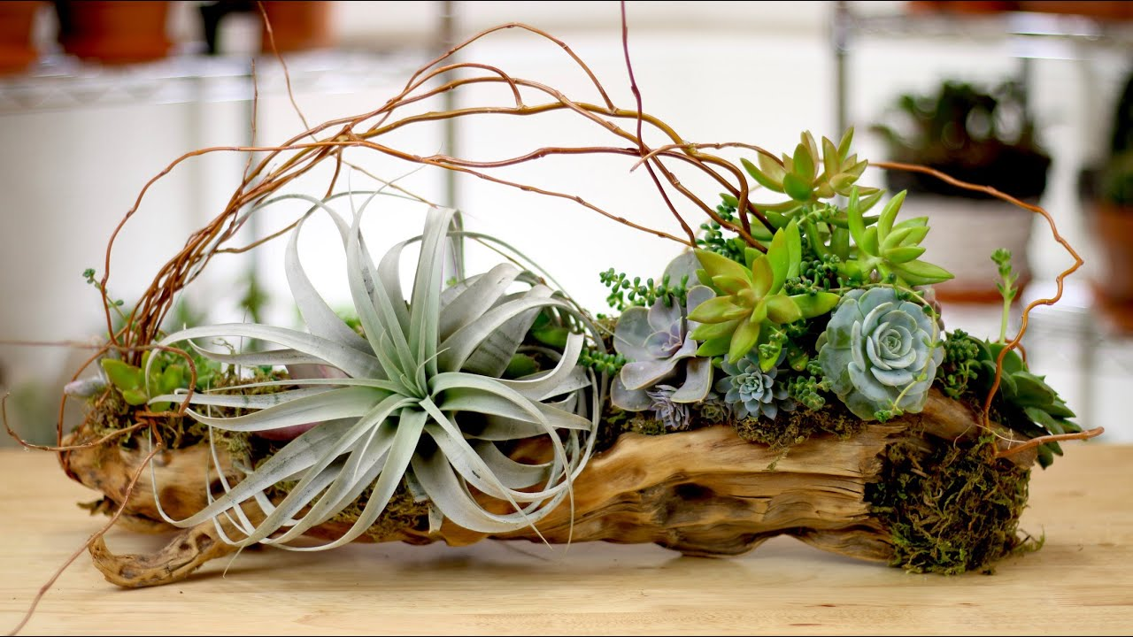 Driftwood Air Plants Succulents