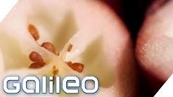 Die Cranberry - Beere mit ungeahnten Kräften | Galileo Lunch Break