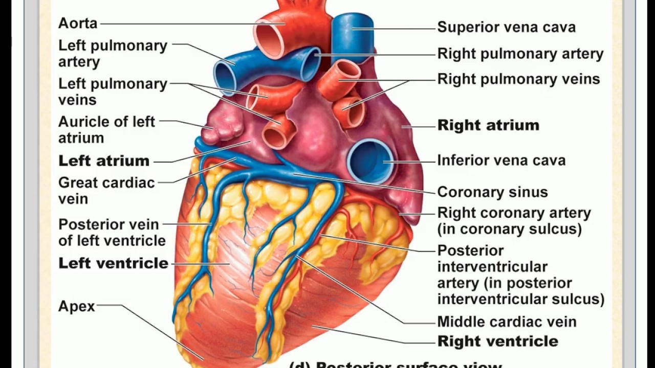 Junior High School Science Circulatory System In Humans Youtube
