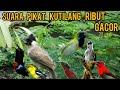 Suara Pikat Burung Kutilang Ribut Kombinasi Burung Kecil  Mp3 - Mp4 Download