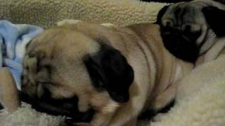 Pugs Snoring