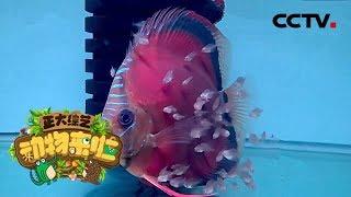 [正大综艺·动物来啦]视频中的小鱼是在做什么  CCTV