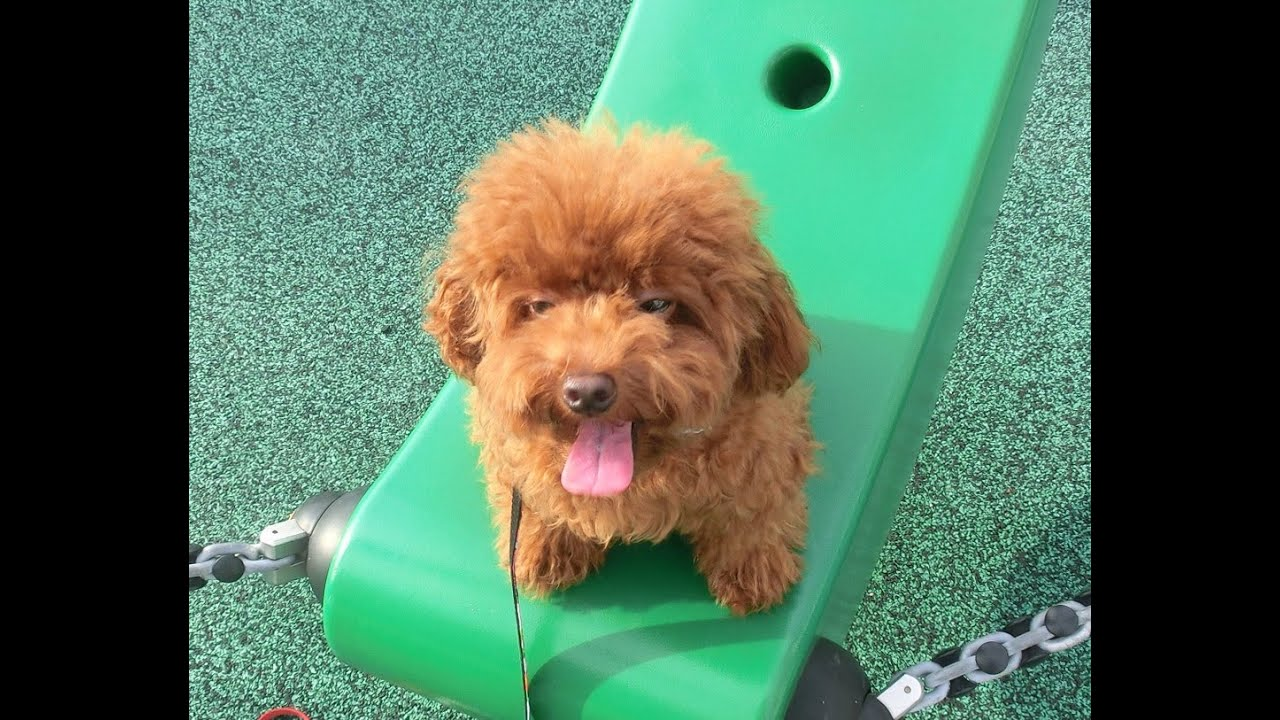 Amber Toy Poodle Cny Boarding Muffin Lassie Fluffy Amber