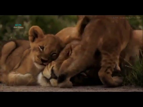 Bầy sư tử cuối cùng - Thiên nhiên hoang dã full HD Thuyết minh