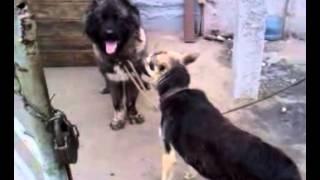Брачные игры собак !