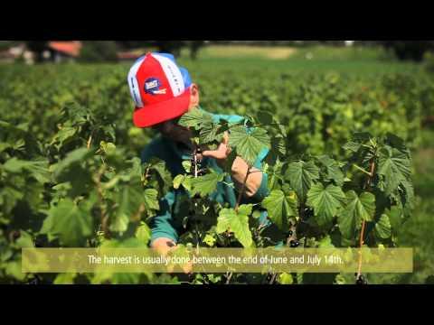 Au coeur des vergers de cassis / Inside blackcurrants' orchards