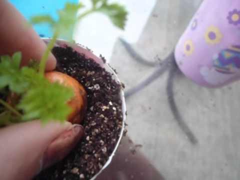 Transplanting Carrot Tops