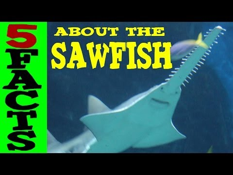 5 Facts About The Sawfish
