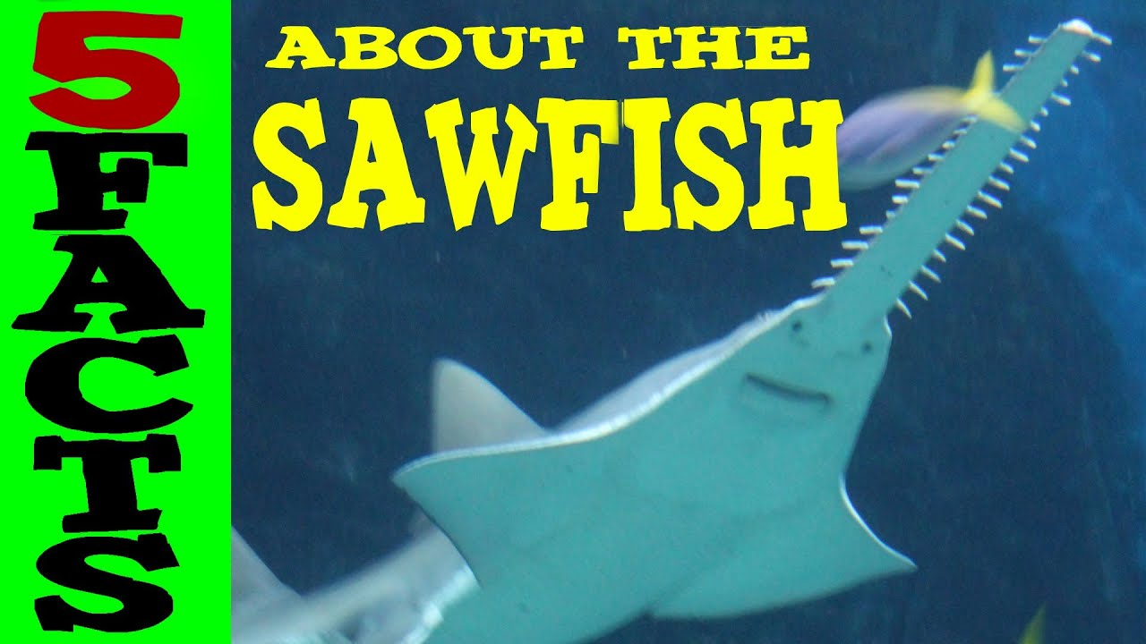 5 Facts about the Sawfish - YouTube