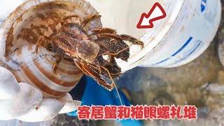 小漁發現大魚擱淺,寄居蟹把貓眼螺的殼當成了房子,魚貨多到不想回家【漁小仙】