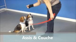 Premier Essai Avec Le Halti Sur 2 Beagles En Même Temps