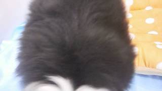 生年月日:2017/1/11 性別:オス ♂ カラー:ブラック&ホワイト.