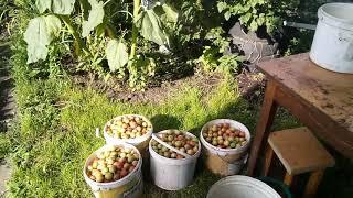Что я делаю со жмыхом яблочным,грушевым.