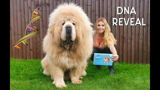 CHINESE TIBETAN MASTIFF DOG - DNA REVEAL !