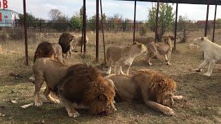 В окружении двадцати завтракающих львов. Тайган | Surrounded by twenty lions that eat. Taigan