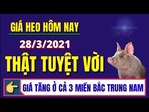 Giá heo hơi ngày hôm nay 28/3/2021 - Thật tuyệt vời giá lợn hơi tăng trên cả 3 miền Bắc Trung Nam