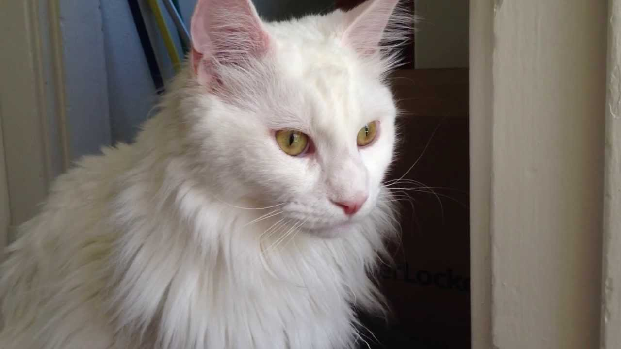 Youtube White Maine Coon Cats