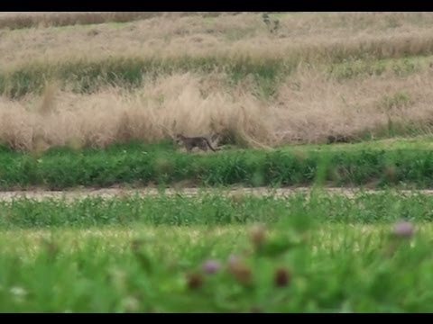Coyote in Bucks County, Pennsylvania