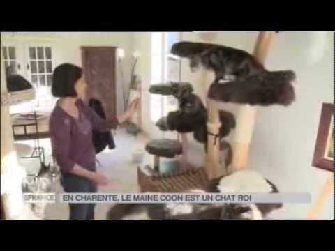 ANIMAUX : En Charente, Le Maine Coon Est Un Chat Roi